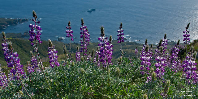 Lupine Over Pacific Ocean