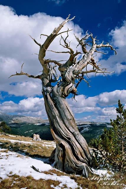 Antient Bristlecone Pine