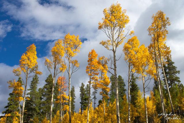 aspens, national forest