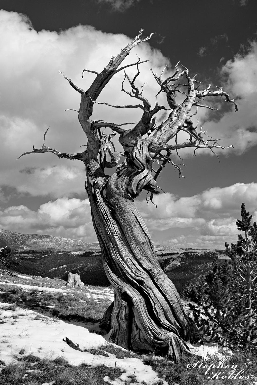 Ancient Bristlecone Pine up on windy ridge