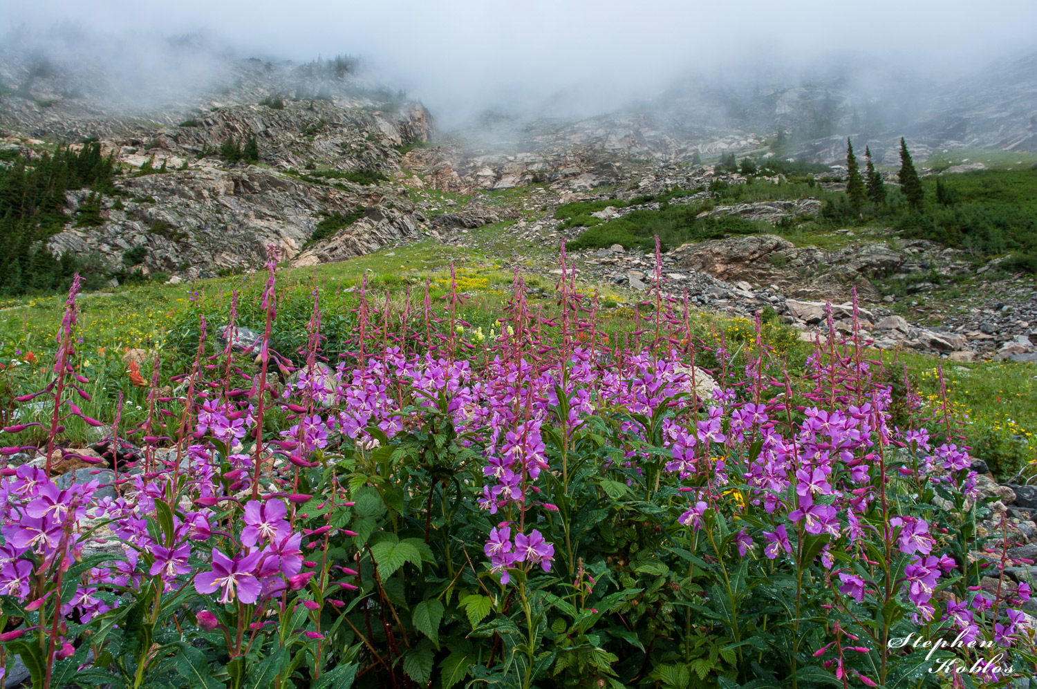 Fireweed in the fog  Limited Edition of 250