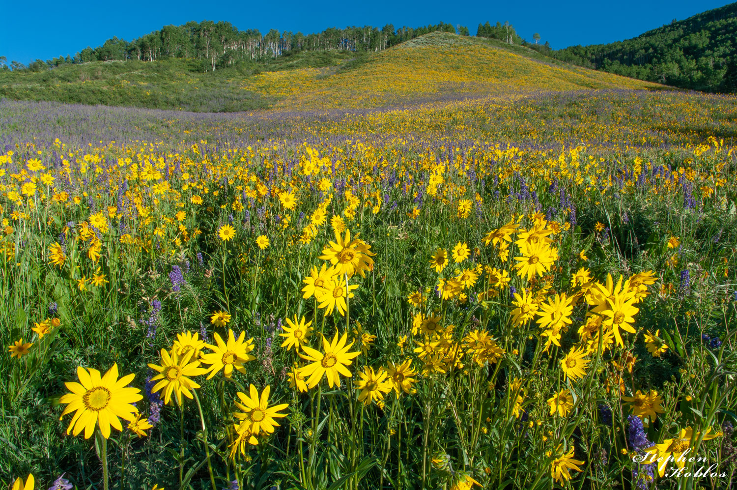 Crested Butte , Flowers, photo