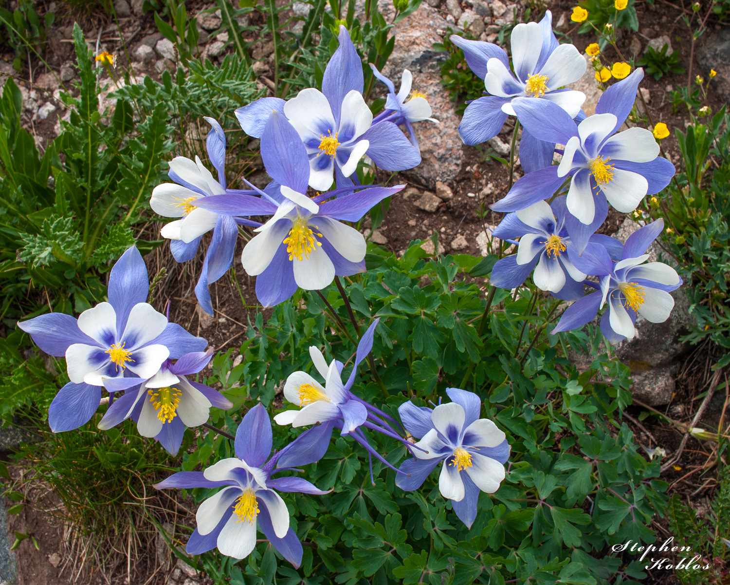 Columbines  Limited Edition of 250