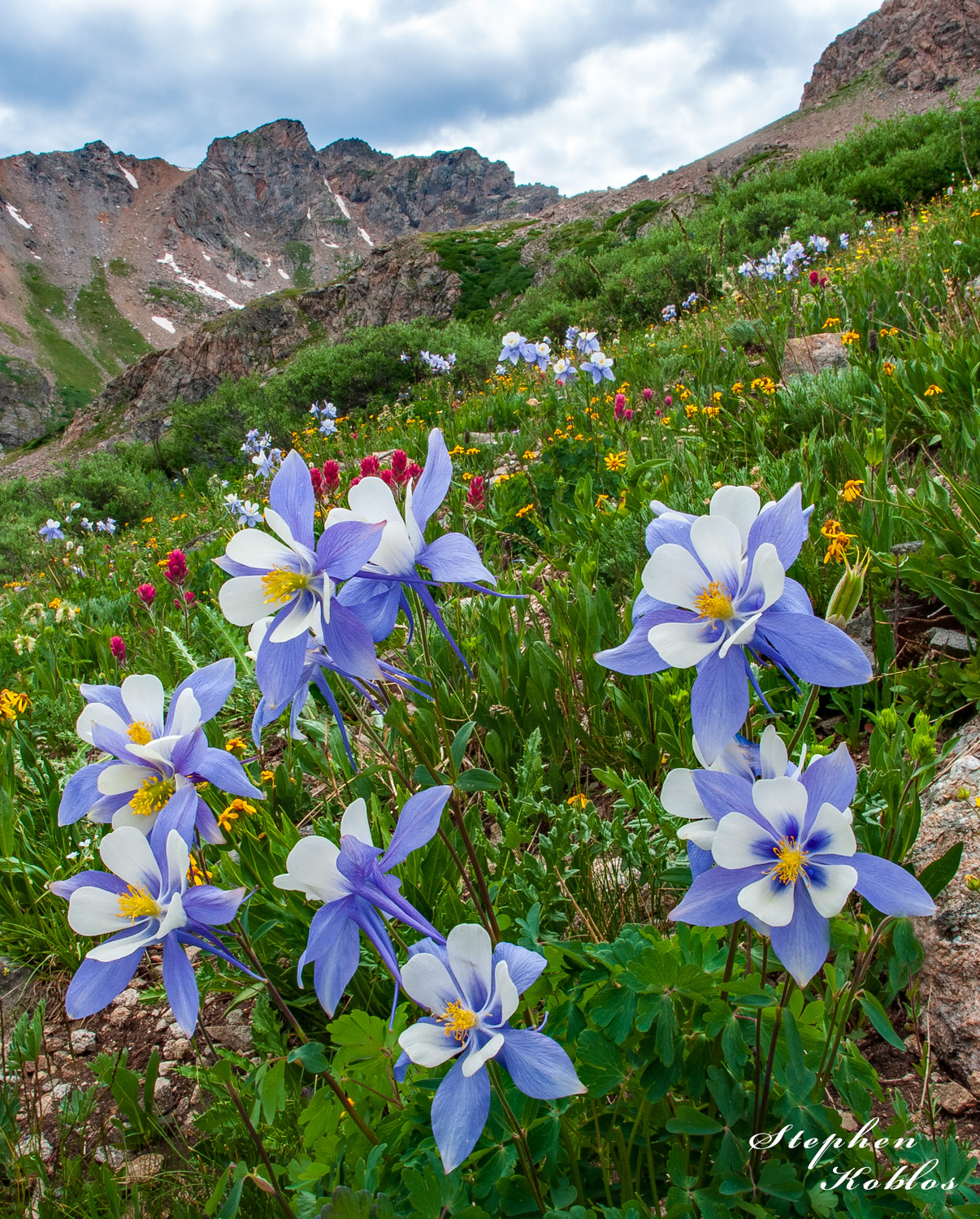 Columbines, Herman Gulch, photo