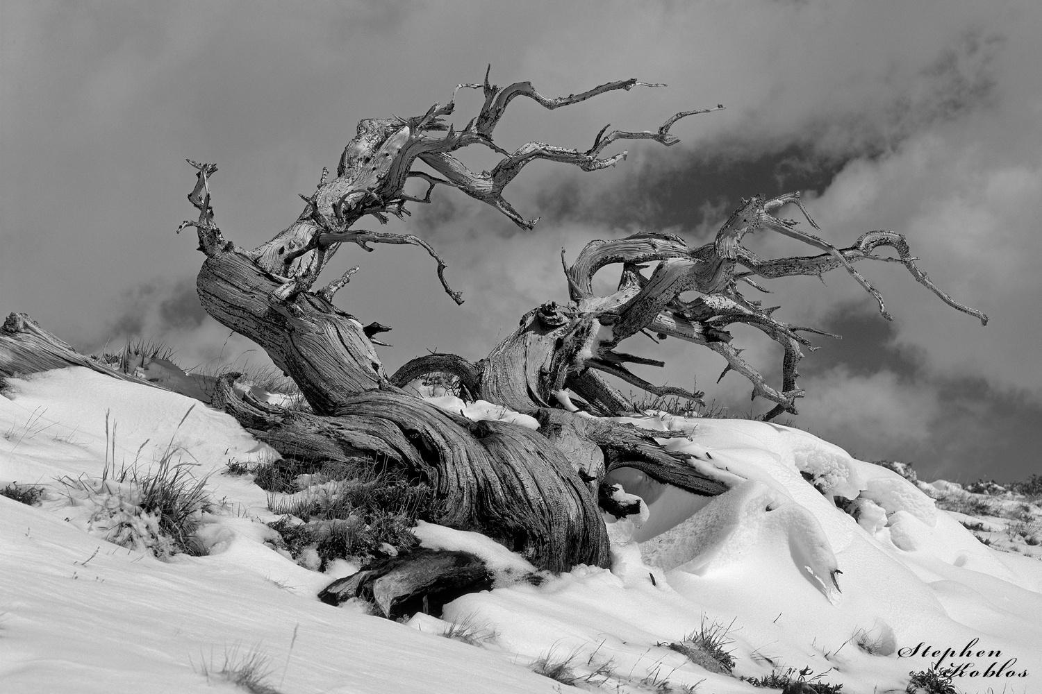 Ancient Bristlecone Pine,  windy ridge, photo