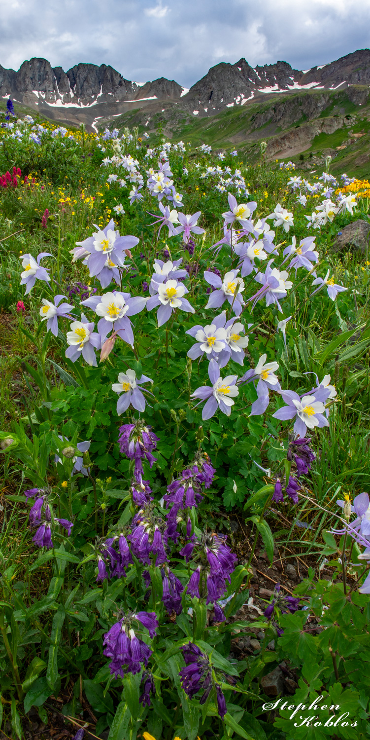 Columbines in American Basin  Limited Edition of 100