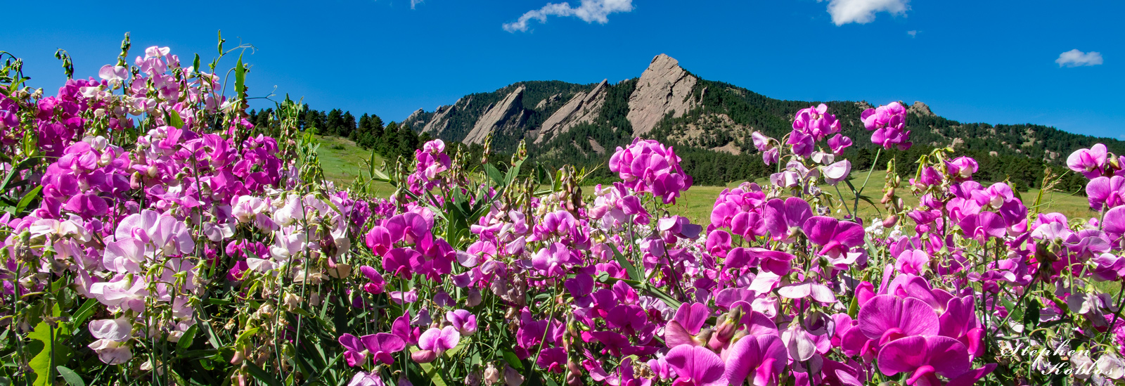 Wild sweet peas below the Flatirons.  Limited Edition of 100