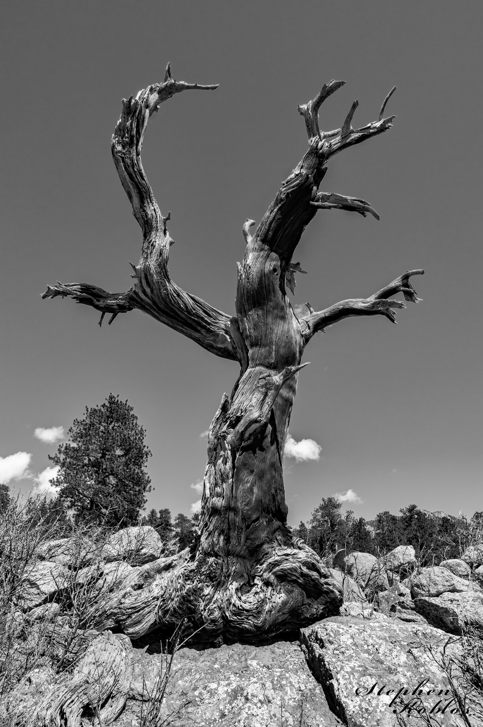Dead tree still standing in Rocky Mountain National Park. Limited Edition of 100