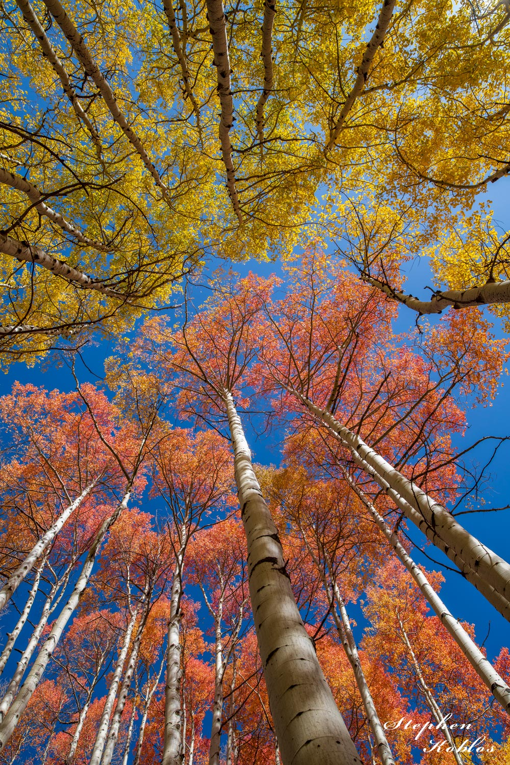 This picture depicts the different colors that aspen leaves can have in the fall. Limited Edition of 100