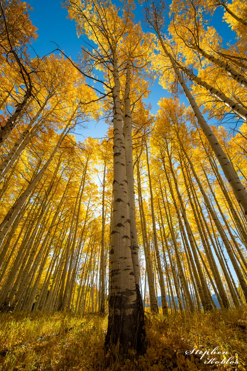 aspens, crested butte, photo