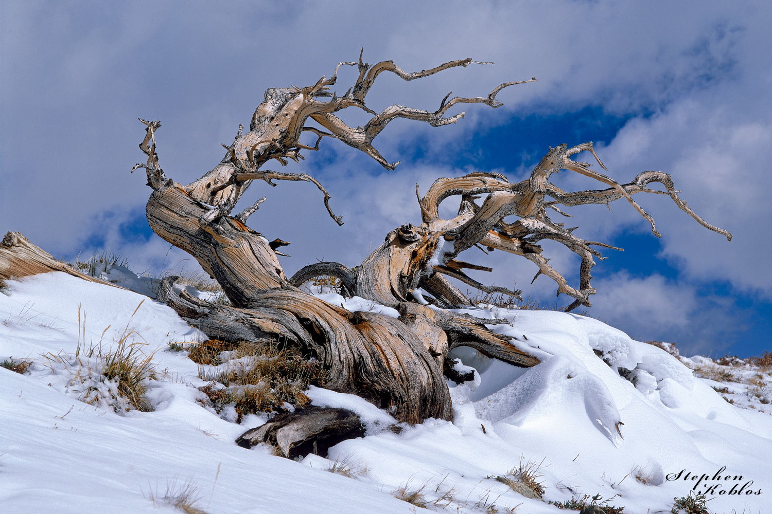 Antient Bristlecone Pine, photo