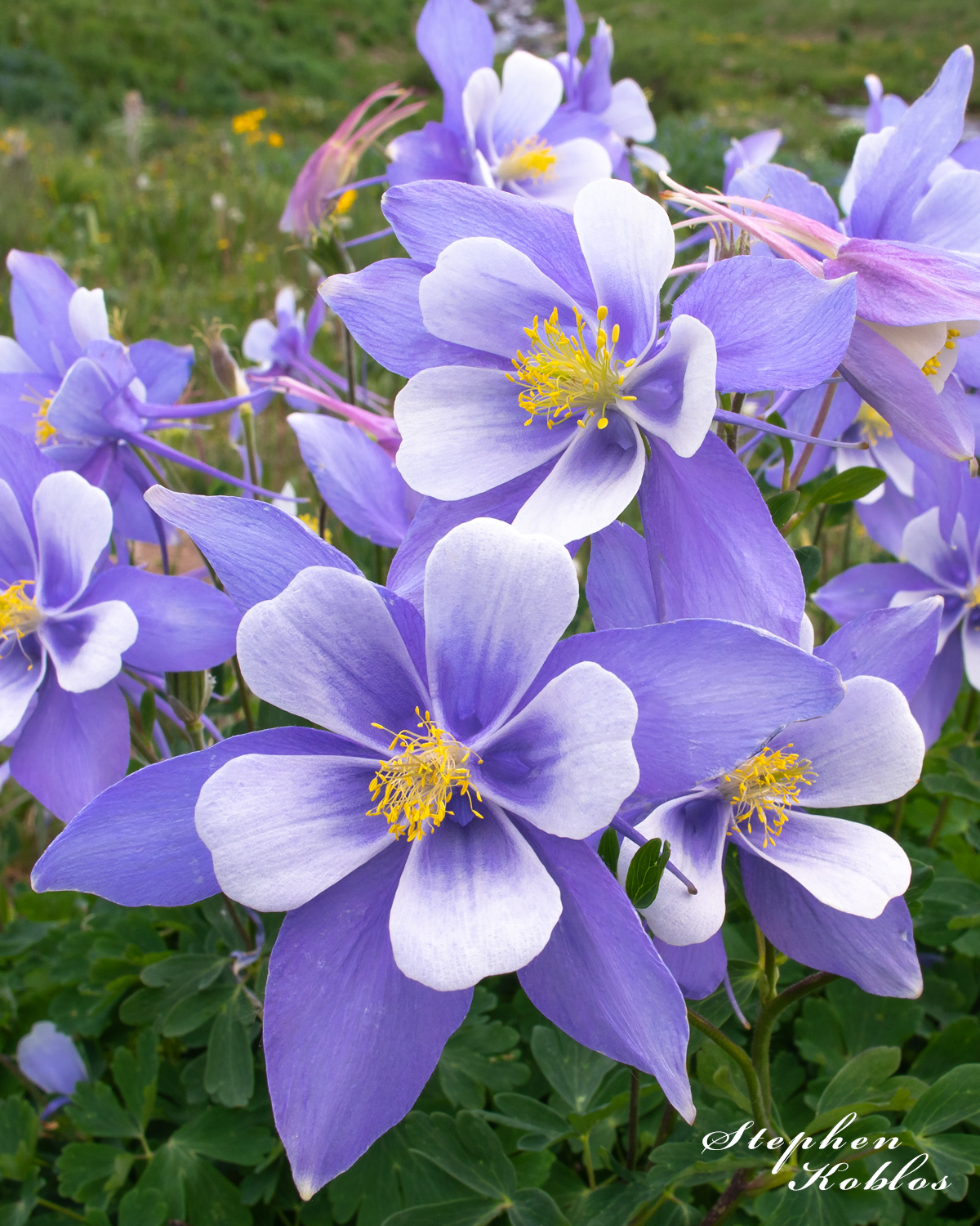 Columbines in American BasinLimited Edition of 100