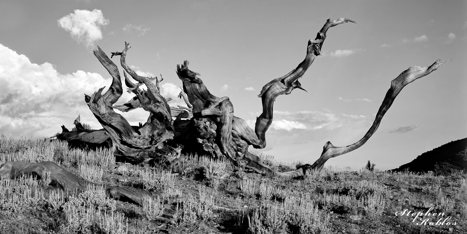Bristlecone Pine Tree Limited Edition of 100