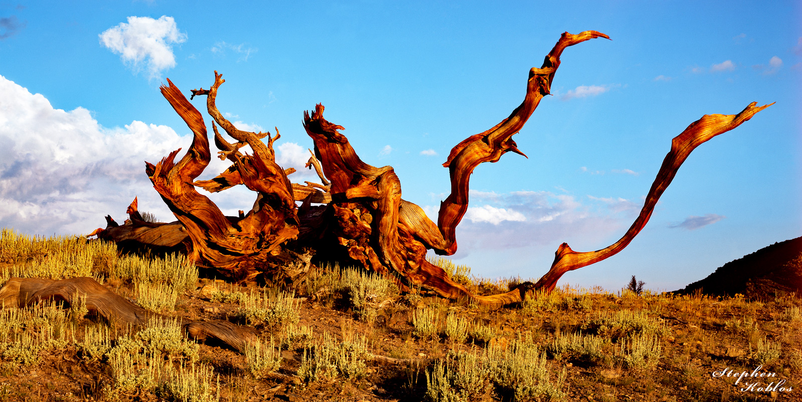 Ancient Bristlecone Pine. I would be curious to know what this tree looked like when it was alive  Limited Edition of 250