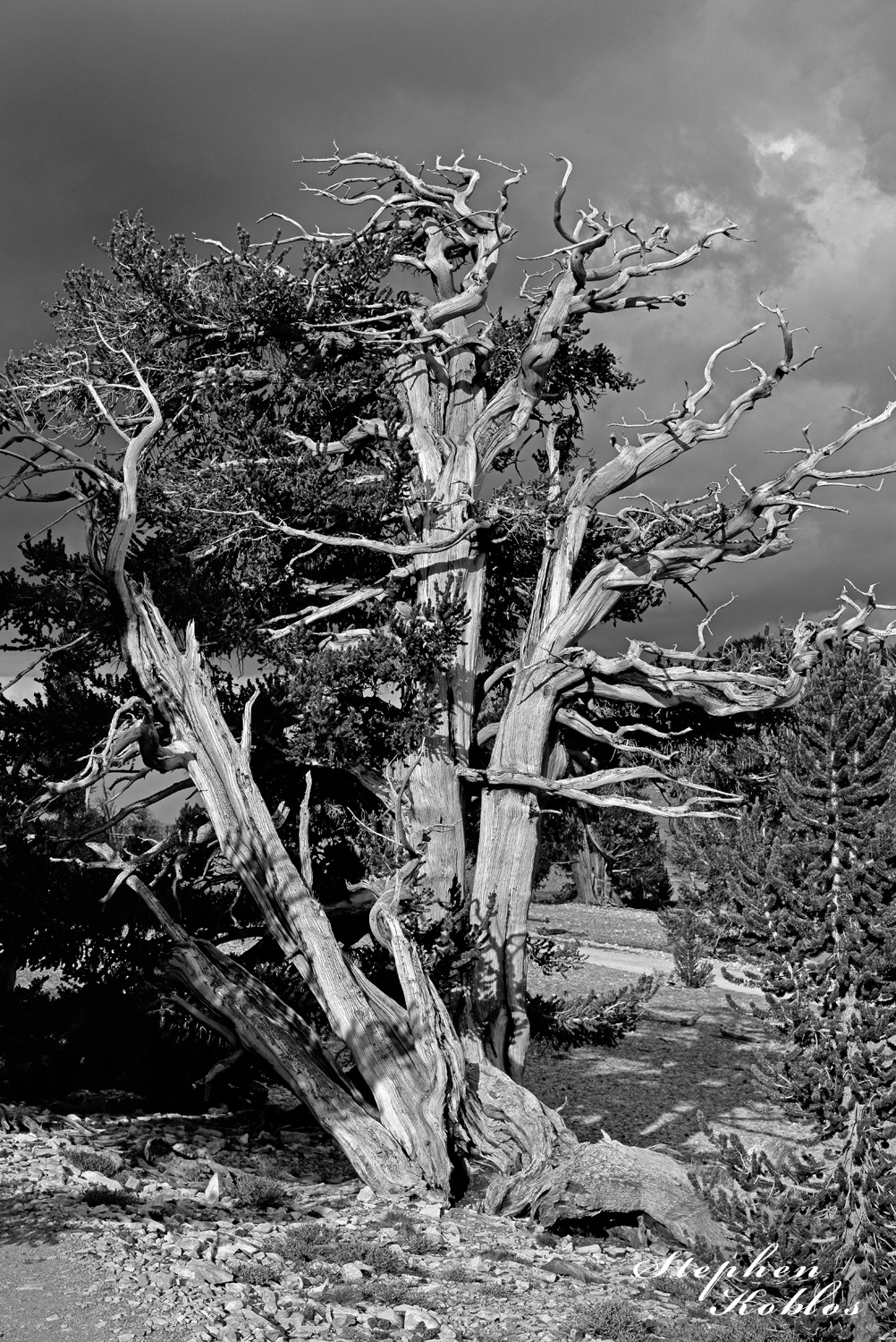Ancient Bristlecone Pine in the white mountains of California.Limited Edition of 100