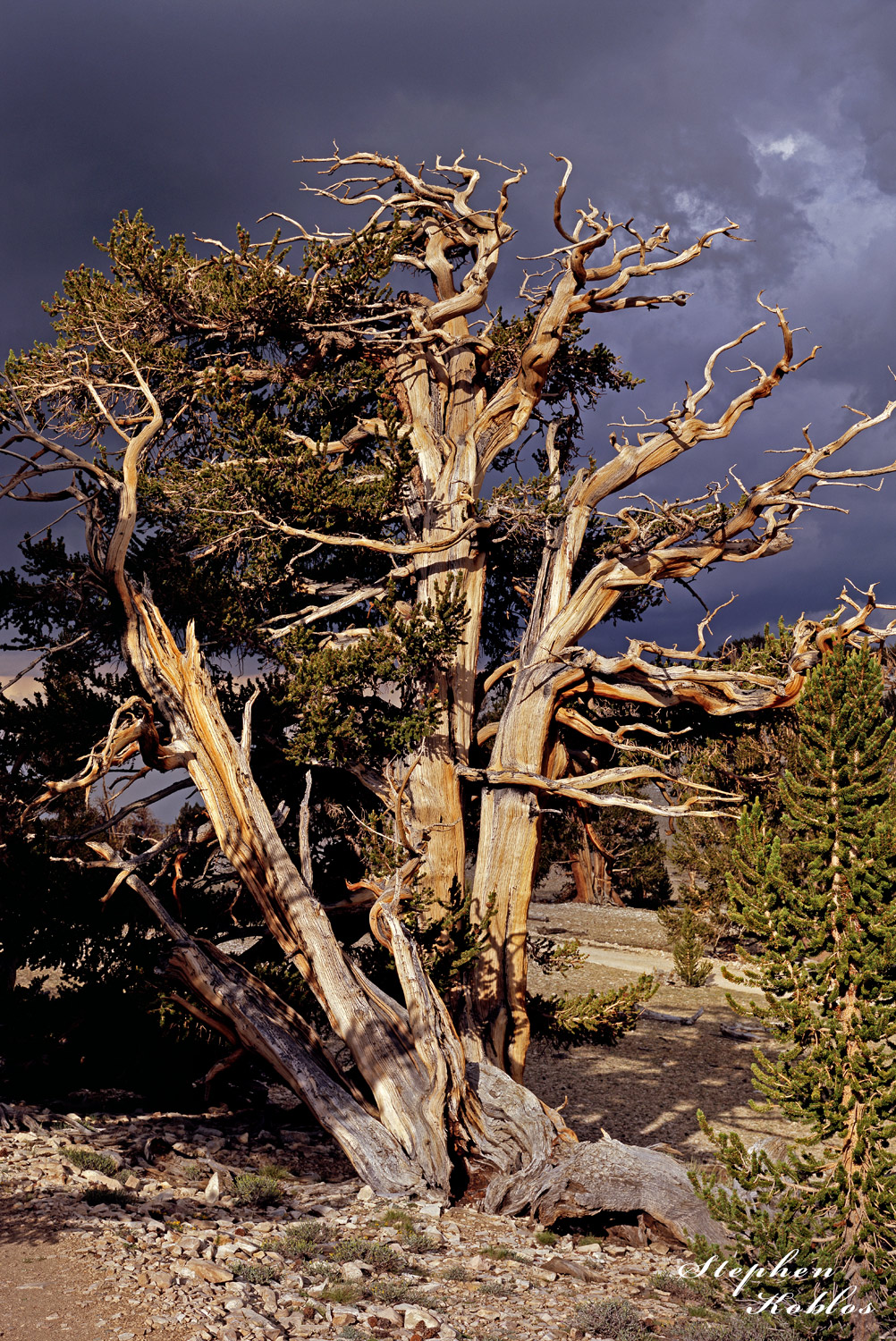 This Tree, in the Ancient Bristlecone Pine Forest in California, shows a lot of wear, but is still going strong.  Limited Edition...