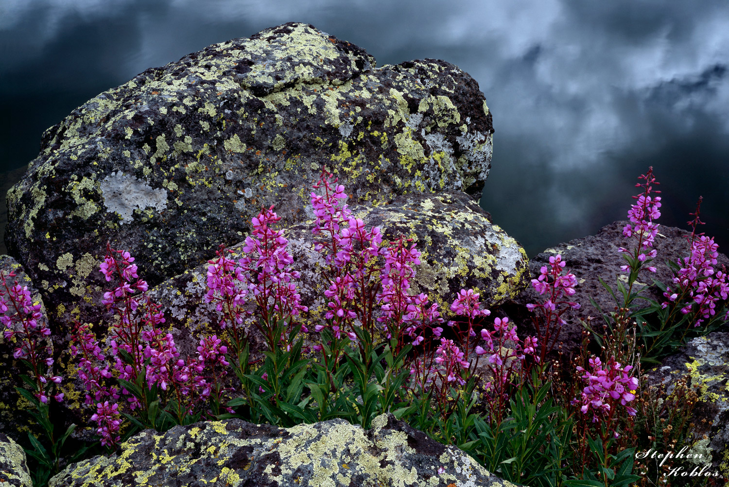 Fireweed at Missouri Lakes   Limited Edition of 250