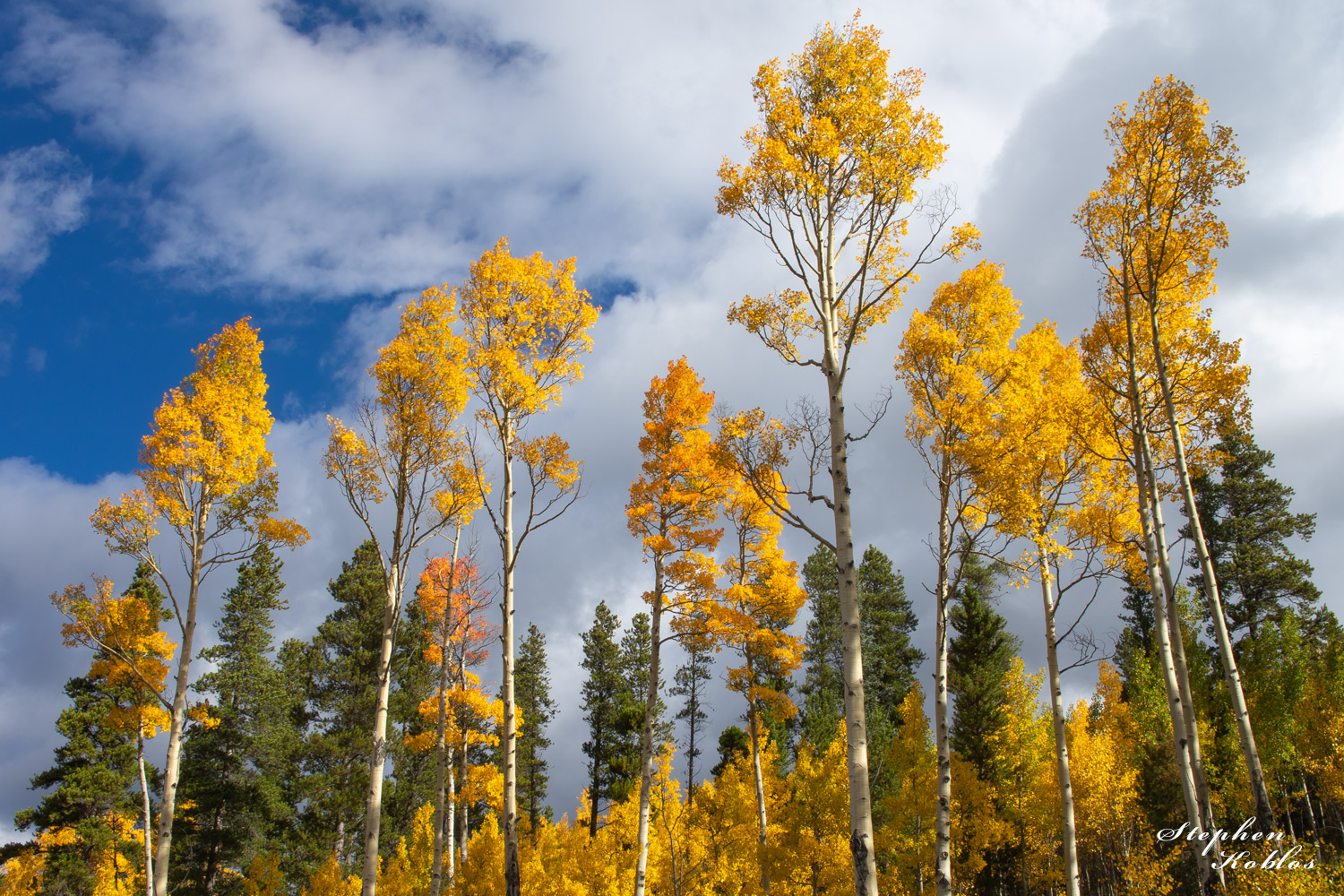 aspens, national forest, photo