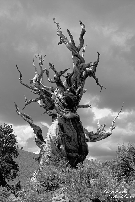 ancient bristlecone pine, california, photo