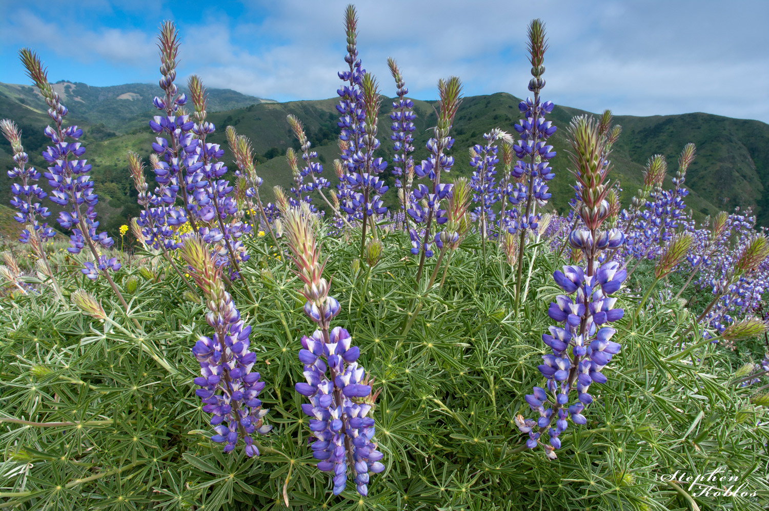 California , Lupines, photo