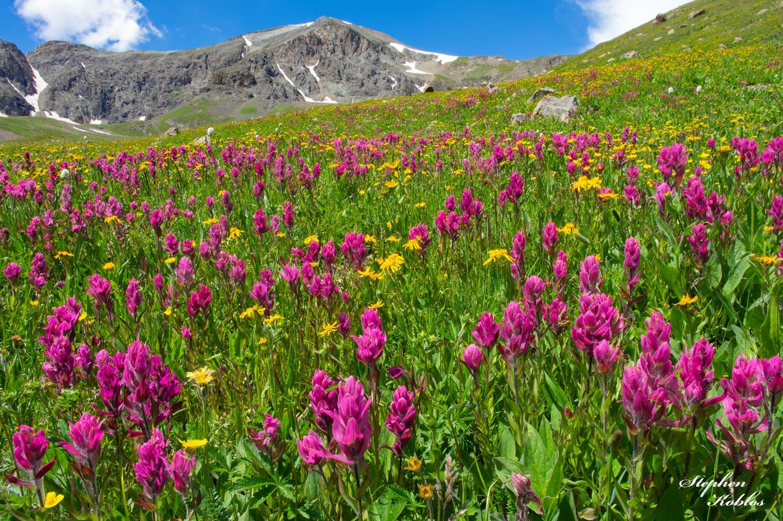 Rosy Paintbrush Below Handies Peak