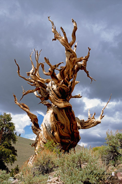 Bristlecone Pine, photo